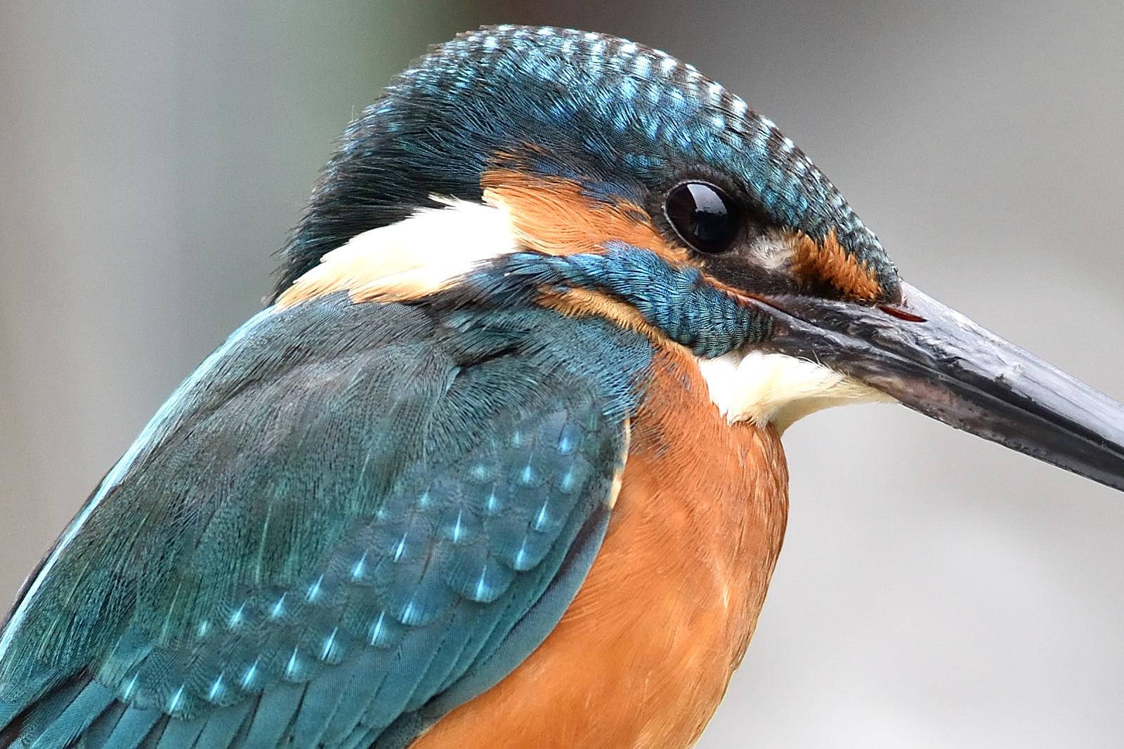 Common_Kingfisher_9468_O