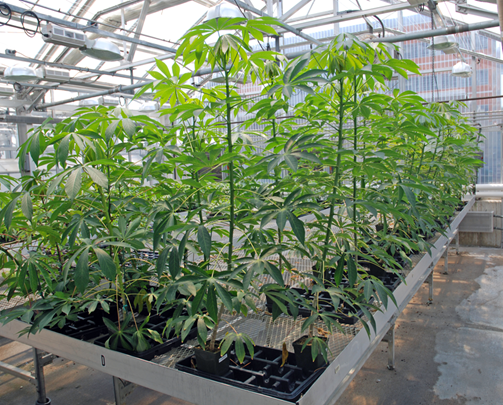 Photo of Cassava in Danforth Greenhouse