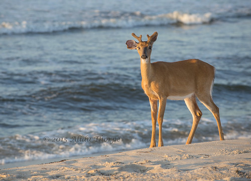 Young Buck on Davis Park Beach