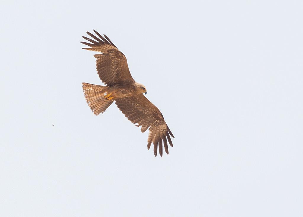 Black Kite  Morocco