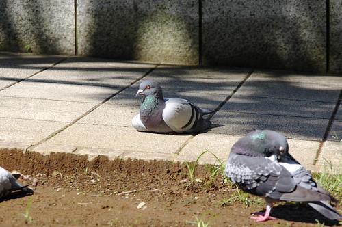 座る横浜美術館鳩