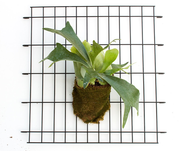 DIY Modern Staghorn Fern | click through for the tutorial and care tips!