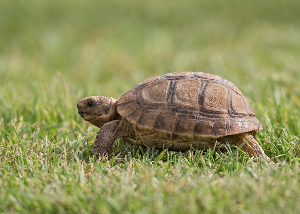 Tortoise  Morocco