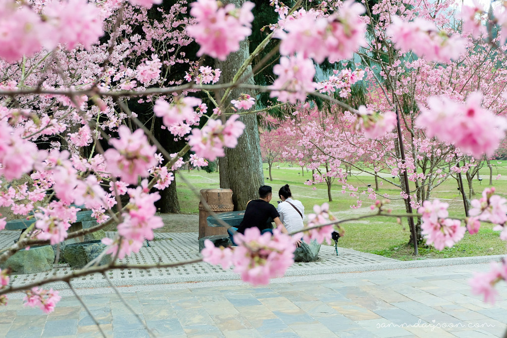 taiwan-cherry-blossom-couple2