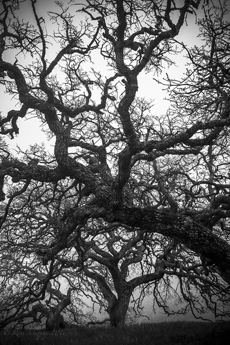Pacheco Oak in the Fog