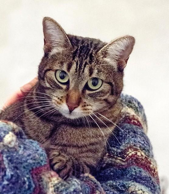 Susi, gata parda guapa y cariñosa esterilizada, nacida en Enero´15, en adopción. Valencia. ADOPTADA. 32262741515_731df48c08_z
