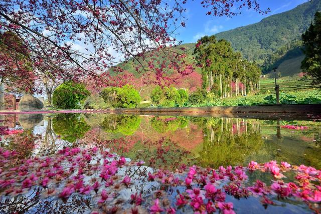 草坪頭玉山觀光茶園~山櫻花~ Taiwan Cherry