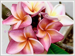 Mesmerising sweet pink Plumeria with orangy center (Frangipani), 6 Feb 2017