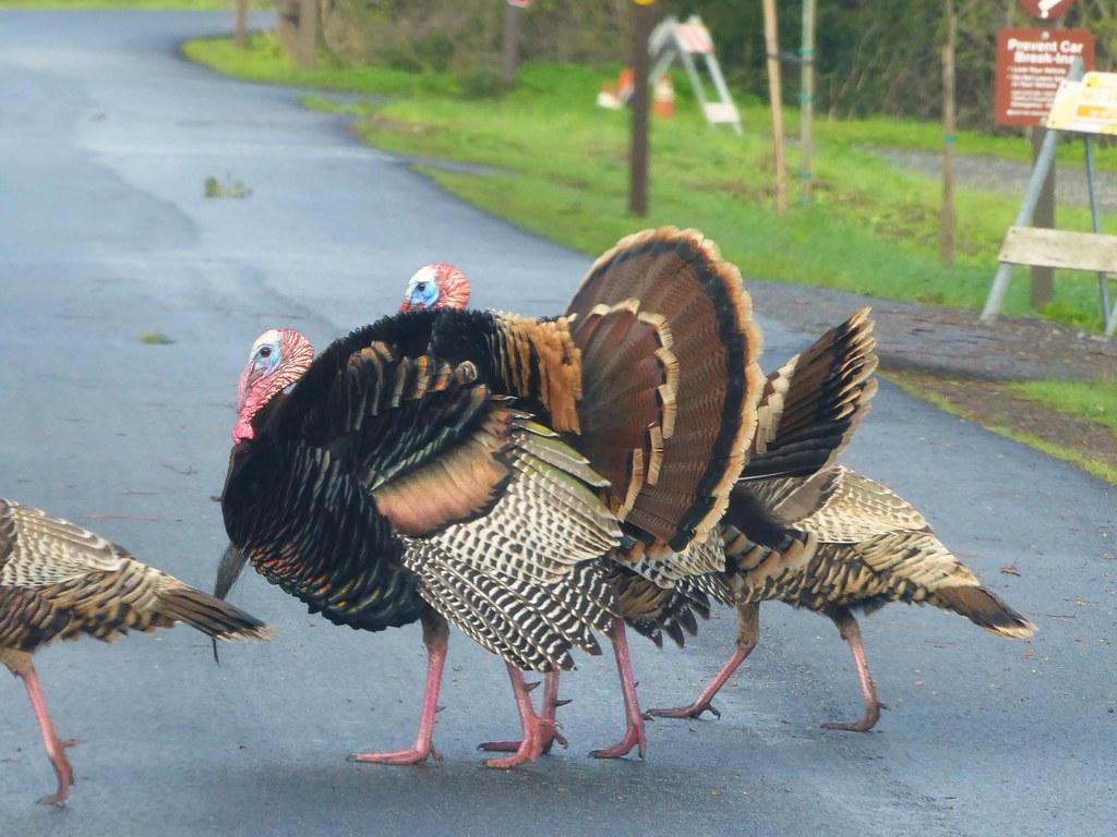 Wild Turkeys Terrorize Freemont