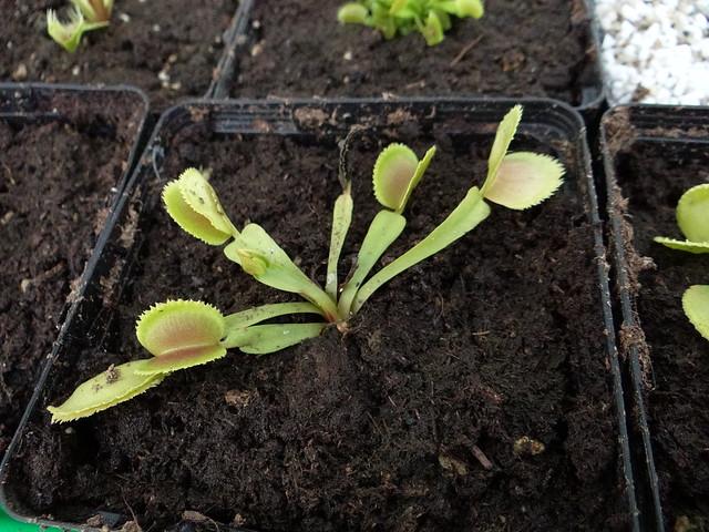 Dionaea muscipula 'Whale'