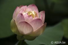 Nelumbo Pink Butterfly