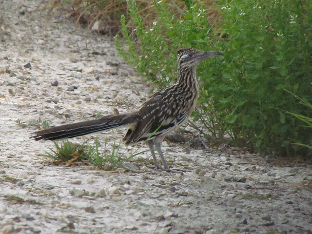 Greater Roadrunner, Laguna Atascosa NWR, Cameron Co, TX, 06-27-15