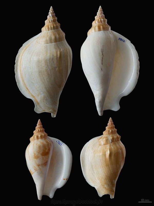 Strombidae Labiostrombus epidromis - (Linnaeus, 1758) 31761865403_84f0d552d1_c
