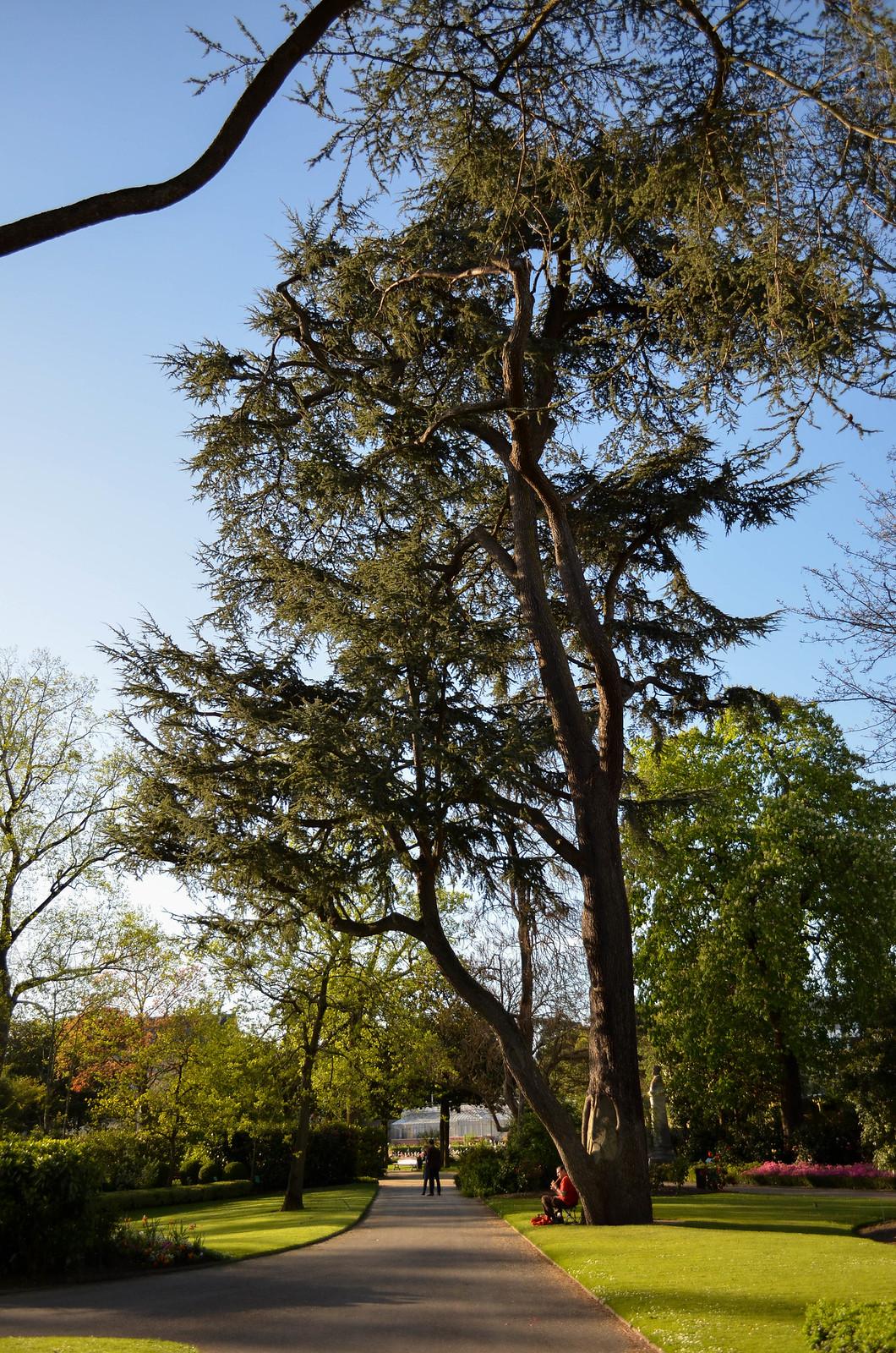 Arbre géant Jardin des plantes Nantes