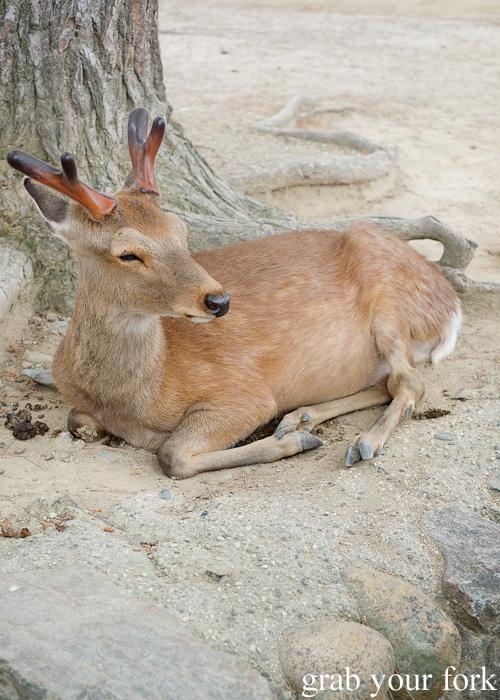 Wild deer at Nara Park, Japan