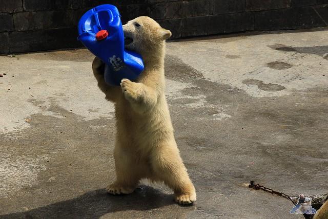 Eisbär Fiete im Zoo Rostock  129