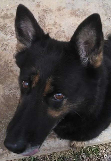 A mostly black German Shepherd, with bronze highlights around her eyes, looks sideways up at the camera. She is probably laughing at the person taking the picture.