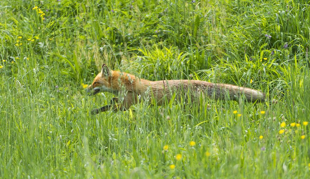Fox running in the grasses