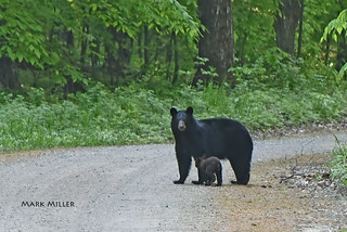 Black Bear & Cub | by GLASman1