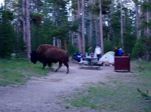 Campsite bison