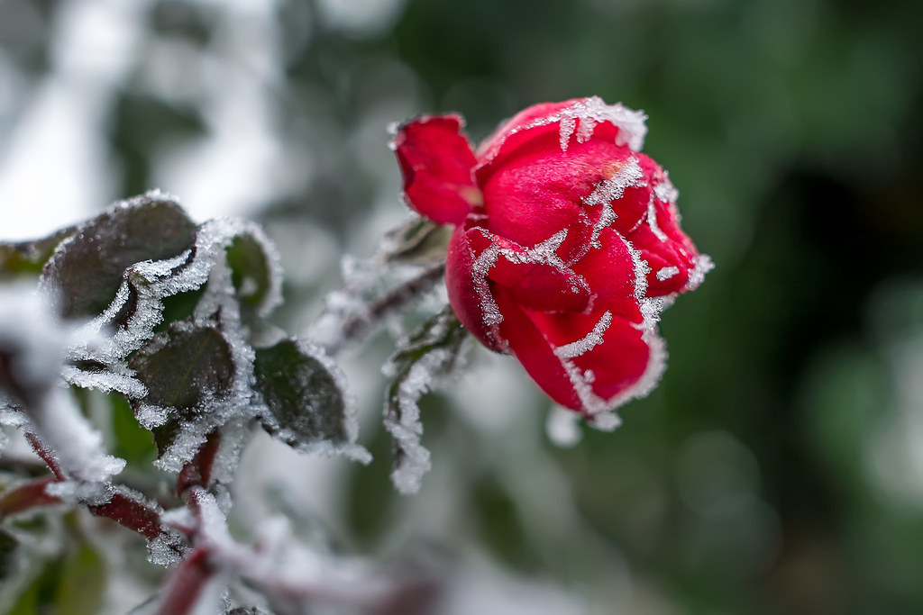 Icy red... | 1st picture of 2017 :-)