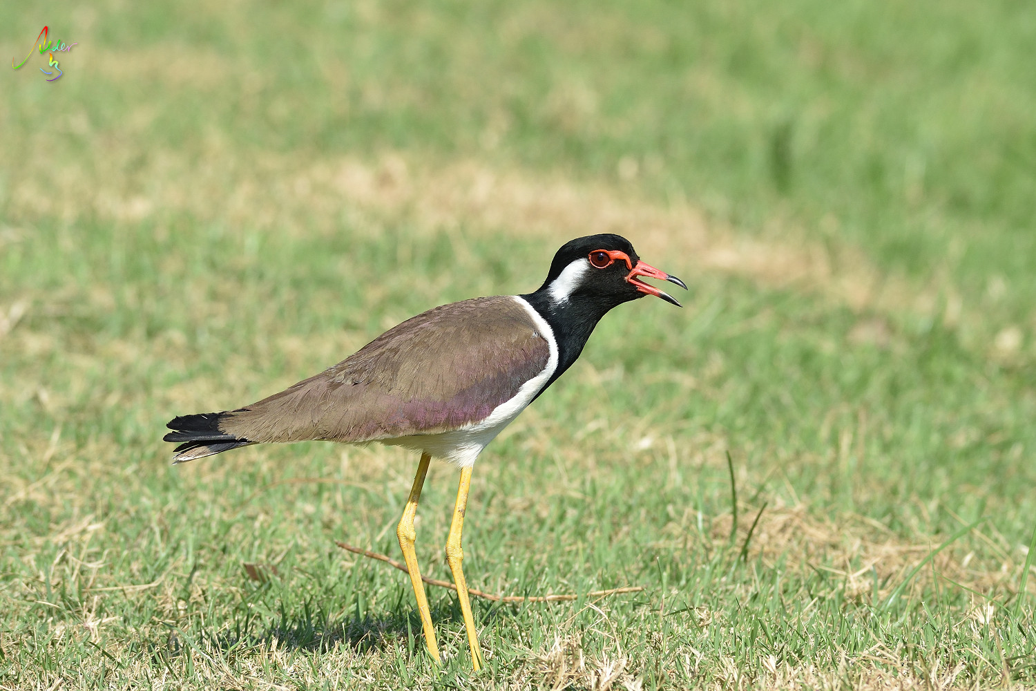 Red-wattled_Lapwing_8893