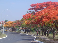 Flamboyants (Delonix regia) - Royal Poincianas, Gulmohar, Flamboyant Tree, Peacock Flower 048 | by Flávio Cruvinel Brandão