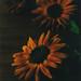 Mahogane sunflower