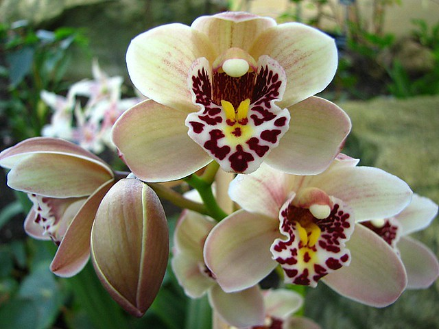 Cymbidium Orchid Colors Cymbidium Orchids by