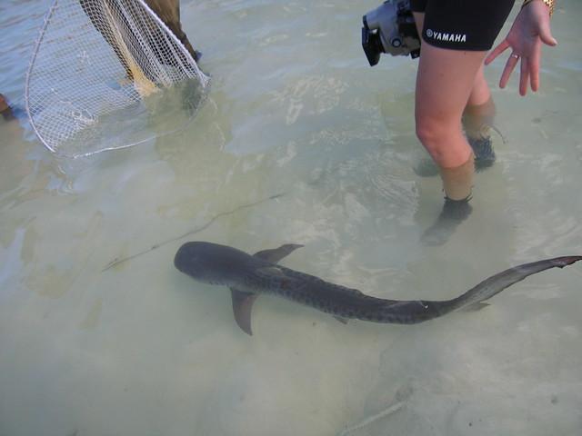 Tiger Shark Juvenile Juvenile Tiger Shark in