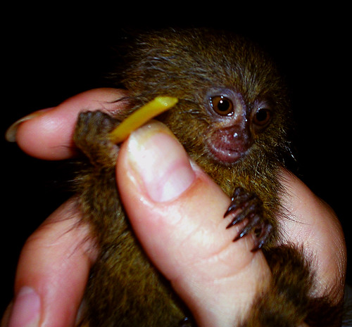 pygmy_marmoset_with_noodle | by natemeg2006