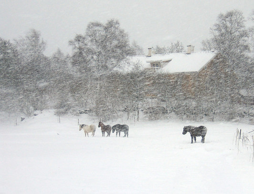 Horses in a snowstorm | by Steffe
