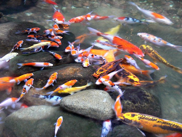 Lots of koi fishes of all sizes nien nien yo yue flickr for Koi 1 utama