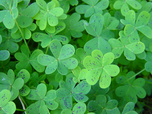 Oxalis leaves with purple spots | by Martin LaBar (going on hiatus)
