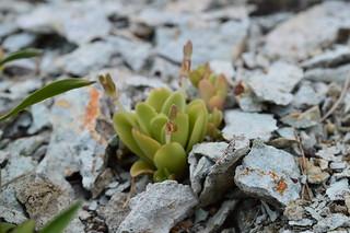 Orostachys malacophylla 男鹿半島産