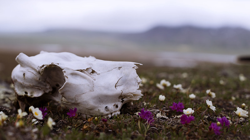 Caribou skull and tundra flowers