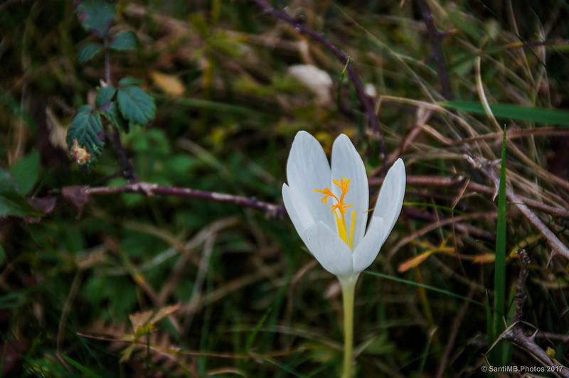 Crocus blanco