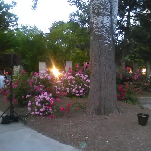 Roses at the AIDS Vigil #toronto #pride #aidsvigil #flowers #roses #aidsmemorial #barbarahallpark