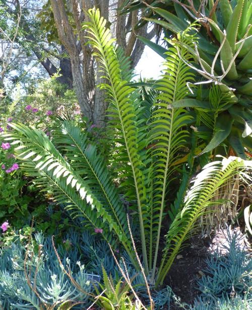 Encephalartos ituriensis 31741349136_98e1b2c310_o
