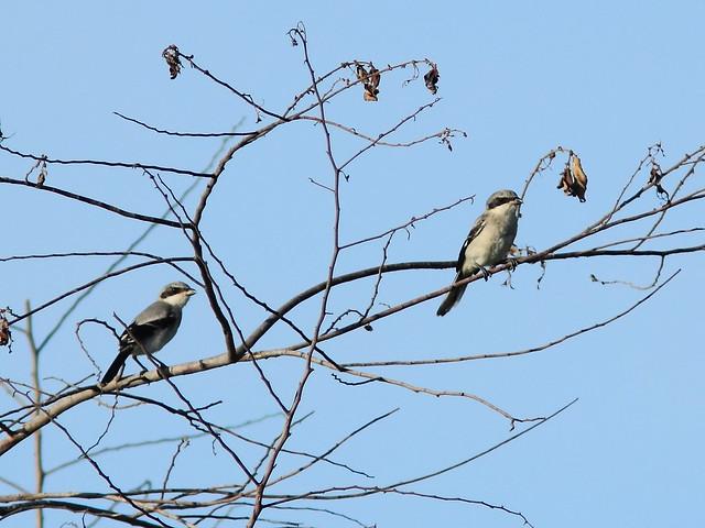 Loggerhead Shrike juveniles 20150601