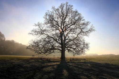 Hallow - oak tree on a frosty morming