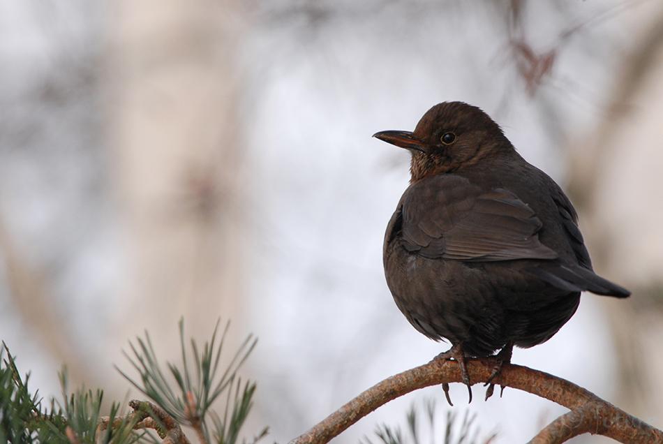 Musträstas, Turdus, merula, Common, Blackbird, Eurasian, Black, Thrush, Estonia, Kaido Rummel