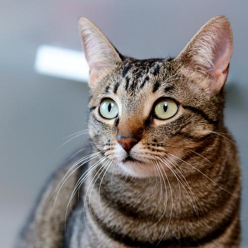 Tigris, gatita atigrada parda de ojazos verdes y cara redondita, tímida y sumisa esterilizada, nacida en Septiembre´15, en adopción. Valencia. ADOPTADA. 32607052521_c7b766dc93