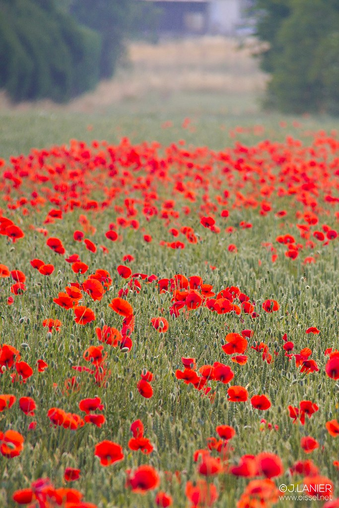 """""""Bloody Coquelicot"""" #3 - Oissel 06/2015"""