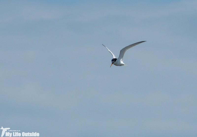 P1130613 - Little Tern, RSPB Titchwell