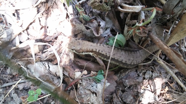문장대 산행 | 줄(?)장지뱀