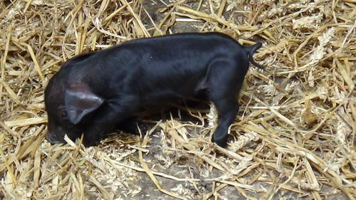 Bill Quay Farm piglets June 15 (3)