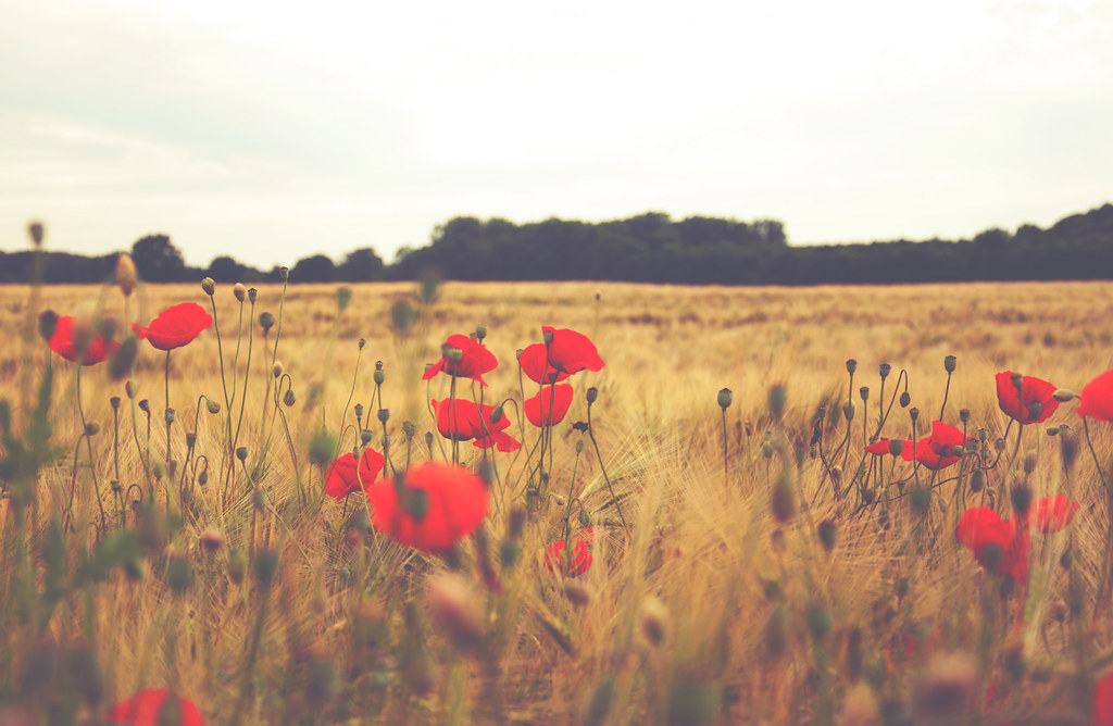 341/365 - Poppy Love