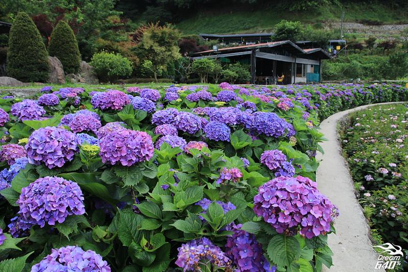 陽明山竹子湖繡球花22