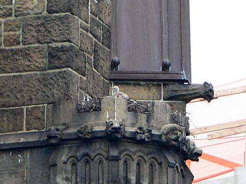 Cathedral Hawk Nestling - 3929